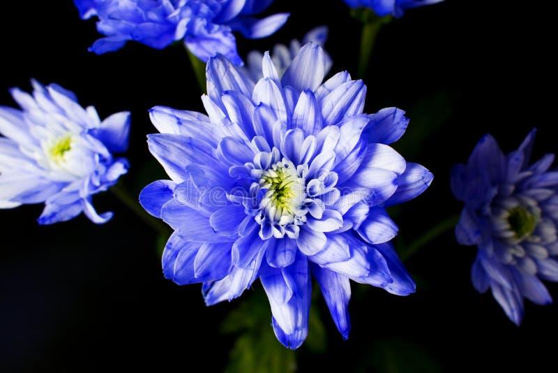 Mazzo di crisantemo blu immagini stock libere da diritti