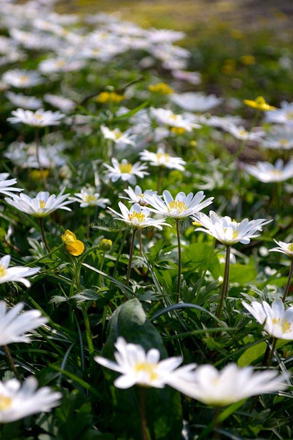 Mazzo di fiori bianchi della sorgente fotografia stock