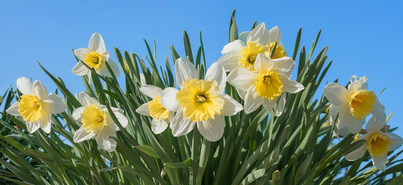 Mazzo di fiori del narciso al campo per l'auto che taglia, cielo blu immagini stock
