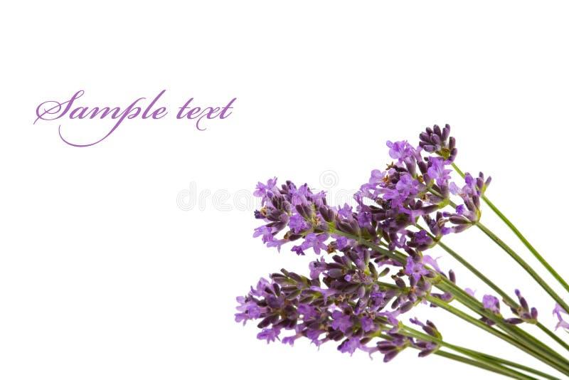 Mazzo di fiori della lavanda immagine stock
