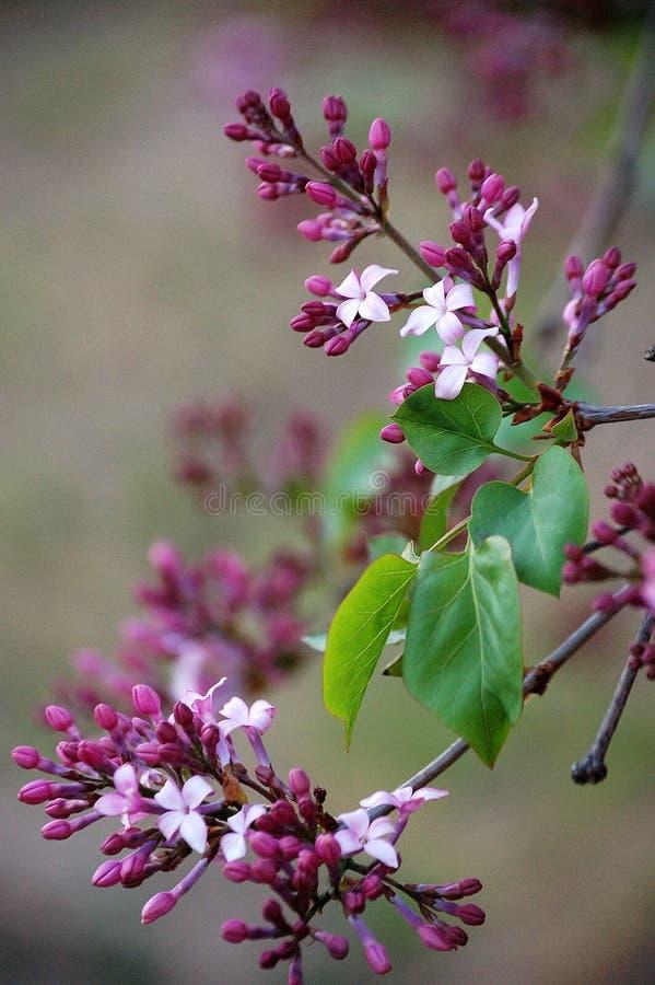 Mazzo di fiori lilla immagine stock libera da diritti