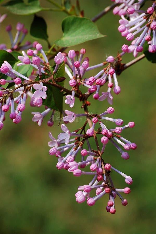 Mazzo di fiori lilla fotografie stock libere da diritti