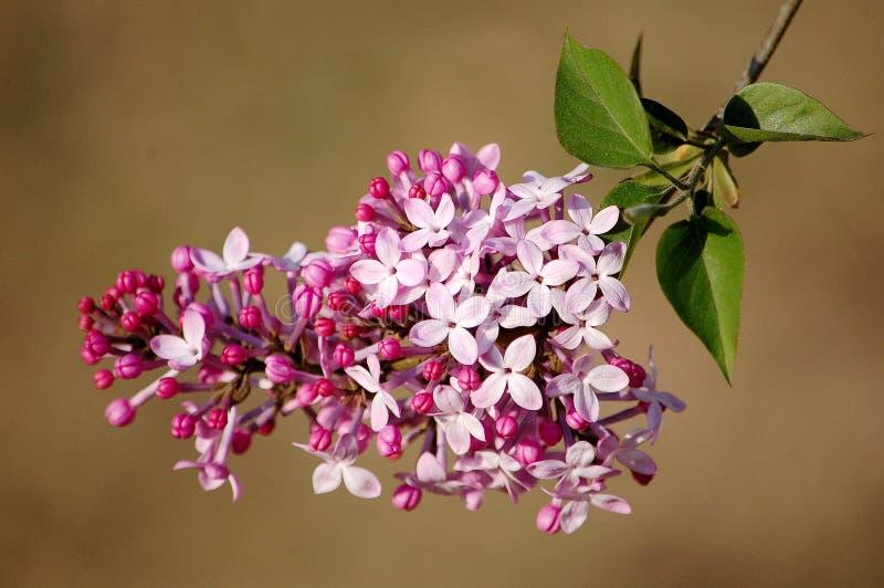 Mazzo di fiori lilla fotografia stock libera da diritti