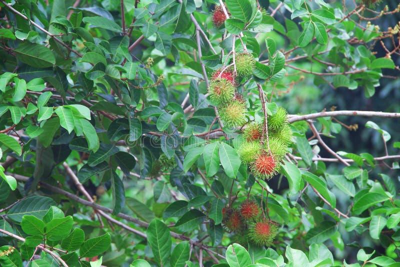Mazzo di frutta organica o di nephelium lappaceum del rambutan che appende sul fondo dell'albero della natura immagine stock libera da diritti