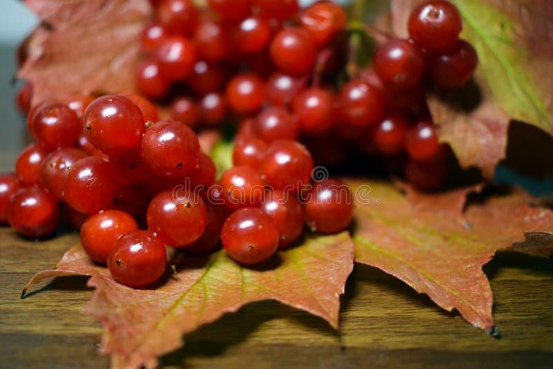 Mazzo di guelder delle bacche su una superficie di legno in autunno fotografia stock