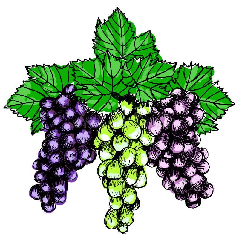 Mazzo di illustrazione di vettore di stile di schizzo dell'uva Vecchia imitazione dell'incisione Disegnato a mano illustrazione di stock