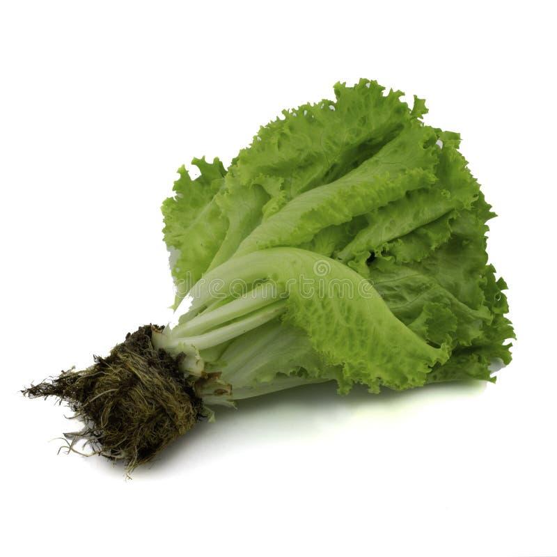 Mazzo di lattuga verde fresca con le radici isolate su fondo bianco immagine stock