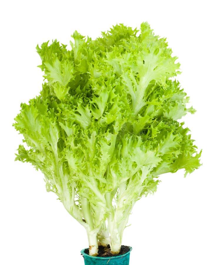 Mazzo di lattuga verde di Lollo Bionda immagini stock libere da diritti