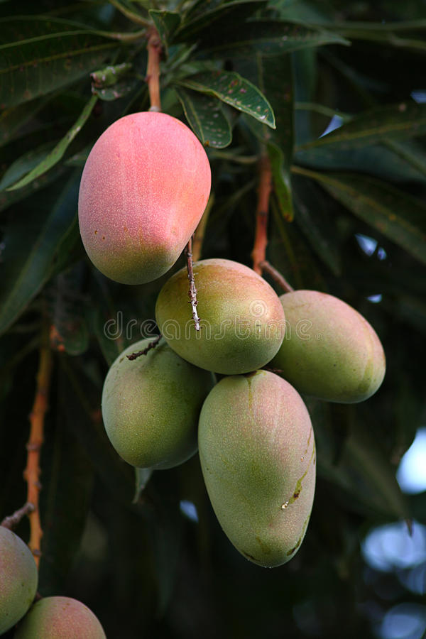 Mazzo di manghi verdi e rossi immagini stock