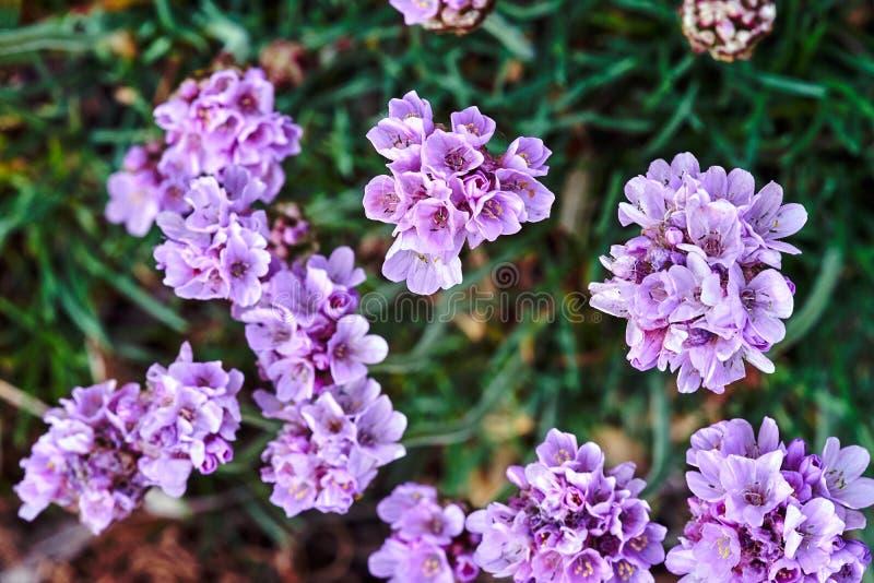Mazzo di piccola azalea viola dei fiori in primavera fotografia stock libera da diritti