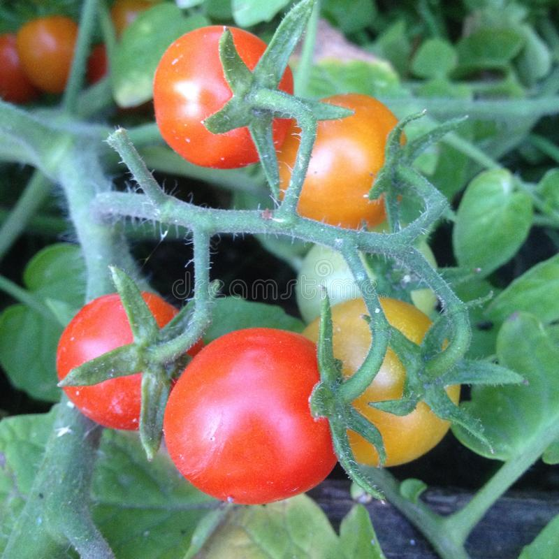 Mazzo di pomodori rossi e gialli sul cespuglio del ramo fotografie stock