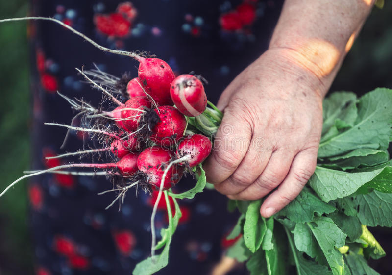Mazzo di ravanelli in mani fotografie stock