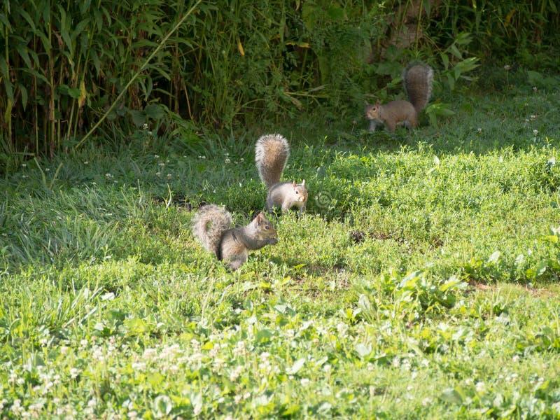 Mazzo di scoiattoli fotografia stock libera da diritti