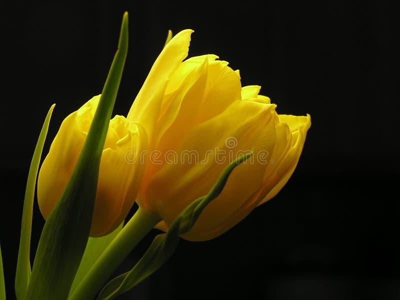Mazzo di tulipani gialli fotografie stock libere da diritti