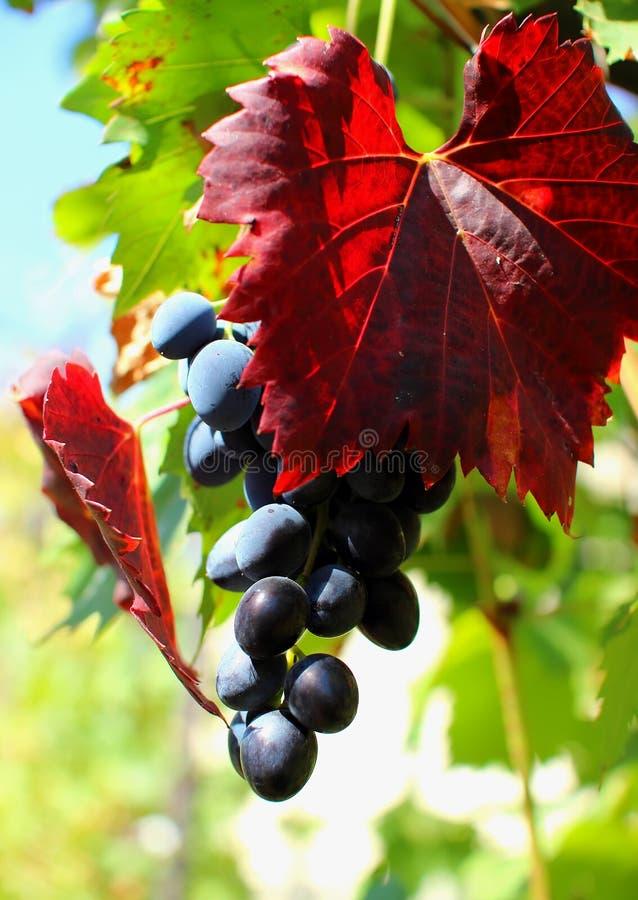 Mazzo di uva fotografie stock