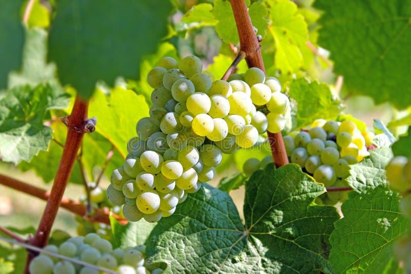 Mazzo di uva bianca immagini stock