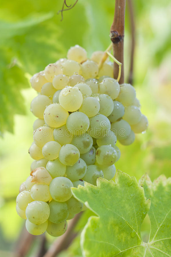 Mazzo di uva bianca sulla vite immagini stock libere da diritti