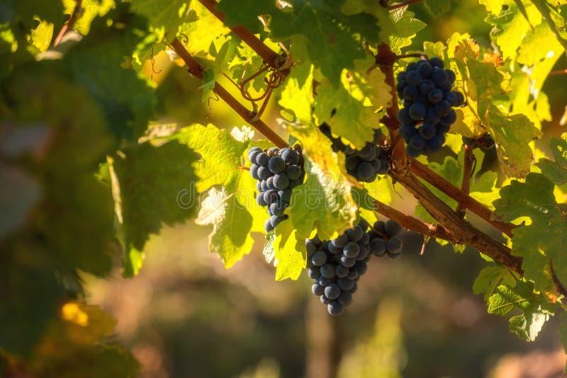 Mazzo di uva blu matura con le foglie verdi, fondo soleggiato agricolo della vigna per vinificazione immagine stock