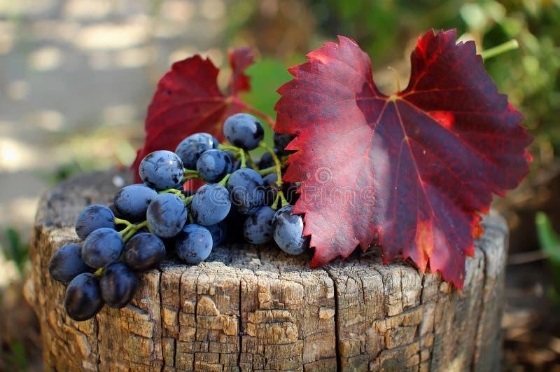 Mazzo di uva con le foglie fotografie stock libere da diritti