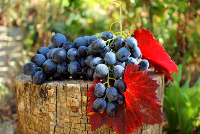Mazzo di uva con le foglie fotografia stock libera da diritti