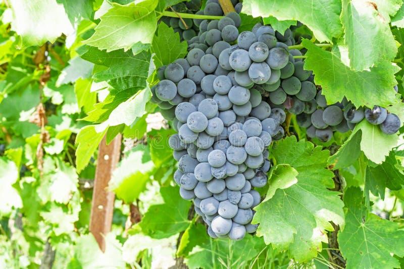 Mazzo di uva matura nera scura fresca sulle foglie verdi nell'ambito di luce solare morbida alla stagione più havest, piantante n fotografie stock