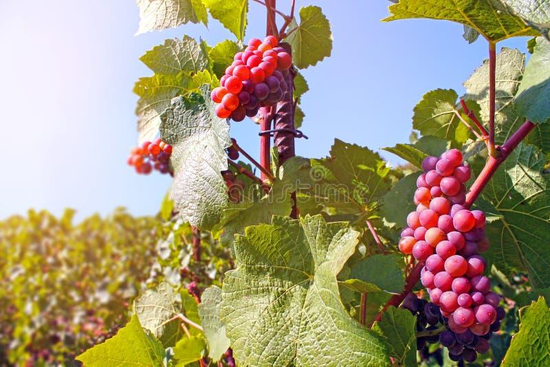 Mazzo di uva rossa immagine stock