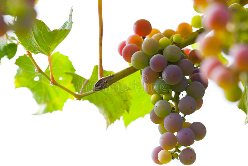 Mazzo di uva sulla vite immagini stock