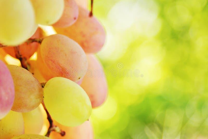 Mazzo di uva sulla vite immagini stock libere da diritti