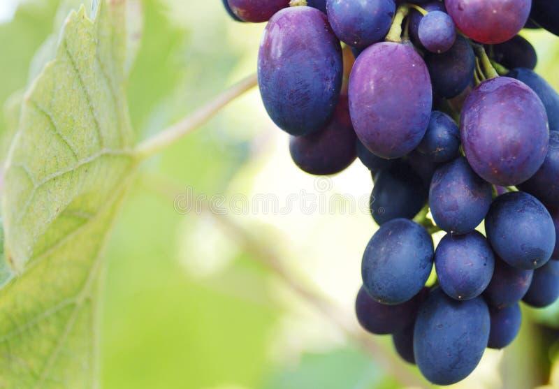 Mazzo di uva sulla vite fotografie stock libere da diritti