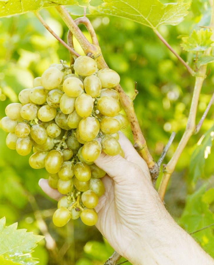 Mazzo di uva sulla vite fotografia stock libera da diritti