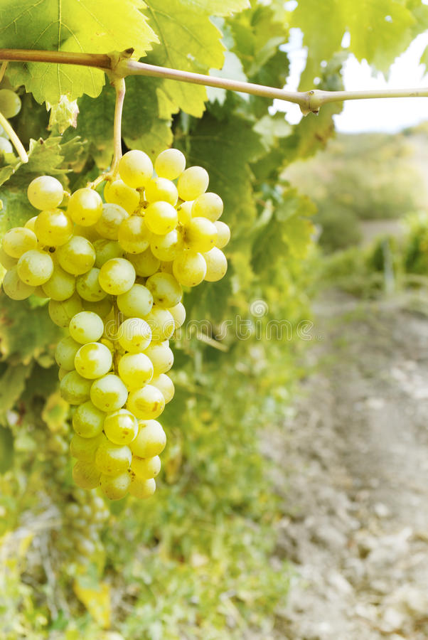 Mazzo dolce e saporito dell'uva bianca fotografie stock