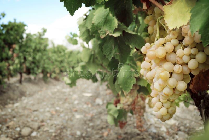 Mazzo dolce e saporito dell'uva bianca immagine stock