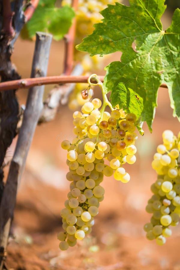Mazzo dolce e saporito dell'uva bianca, dalla vigna in Manduria in un giorno soleggiato di estate, Salento, Italia fotografia stock libera da diritti