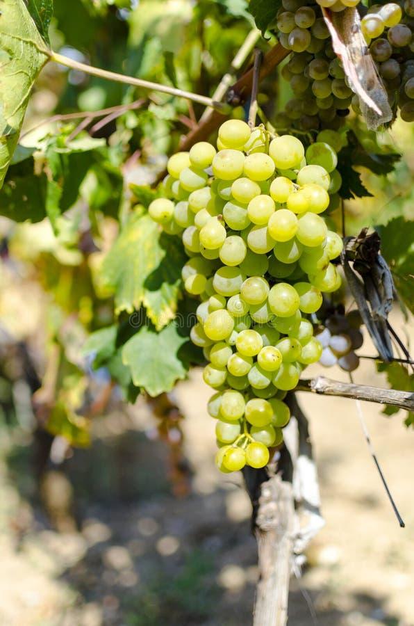 Mazzo dolce e saporito dell'uva bianca sulla vite fotografie stock