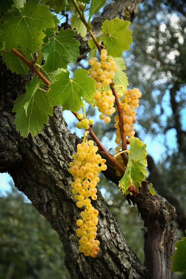 Mazzo dolce e saporito sulla vite, Toscana dell'uva bianca fotografia stock libera da diritti