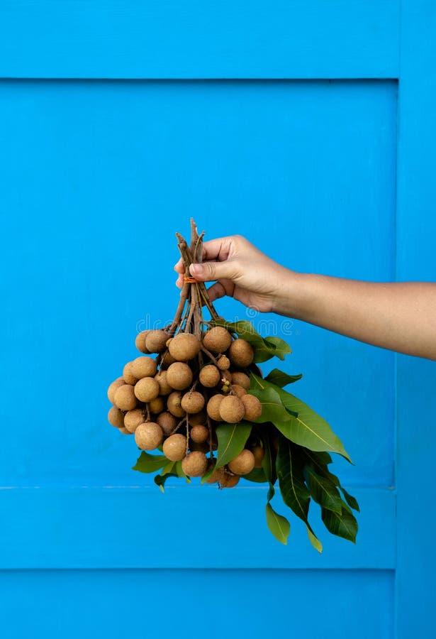 Mazzo fresco della frutta del Longan della tenuta della mano isolato su fondo blu luminoso fotografia stock libera da diritti