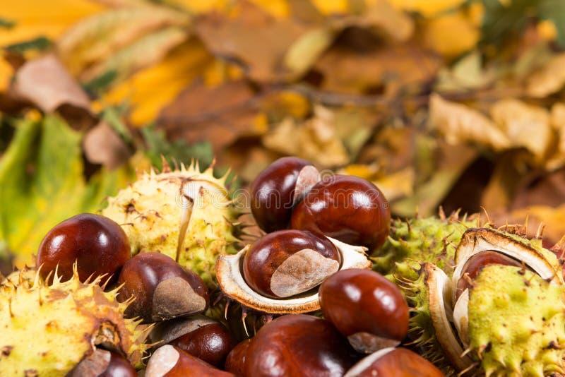 Mazzo o mucchio di ippocastani sulle foglie di autunno fotografia stock libera da diritti