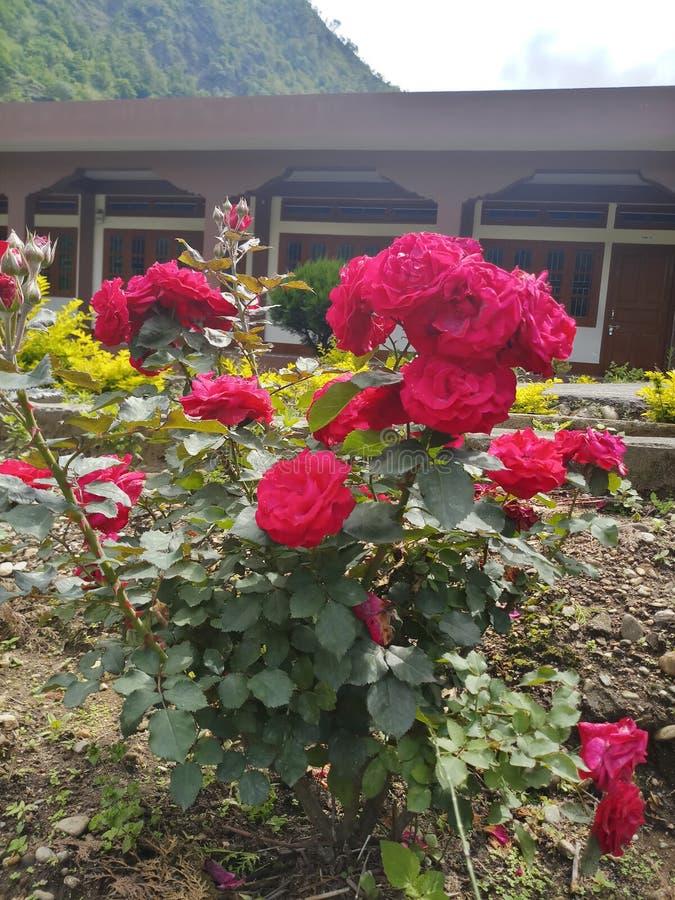 Mazzo Rose Bud Nature Garden rossa fotografia stock
