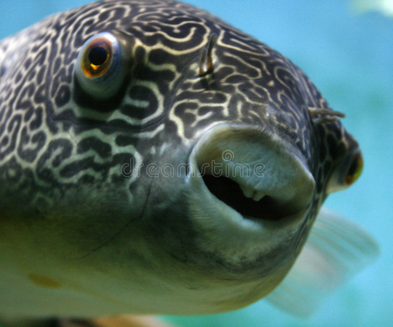 Mbu Pufferfish royalty-vrije stock foto