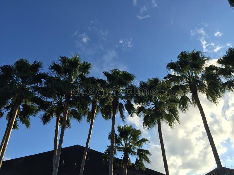 McAllen palmträd royaltyfri fotografi