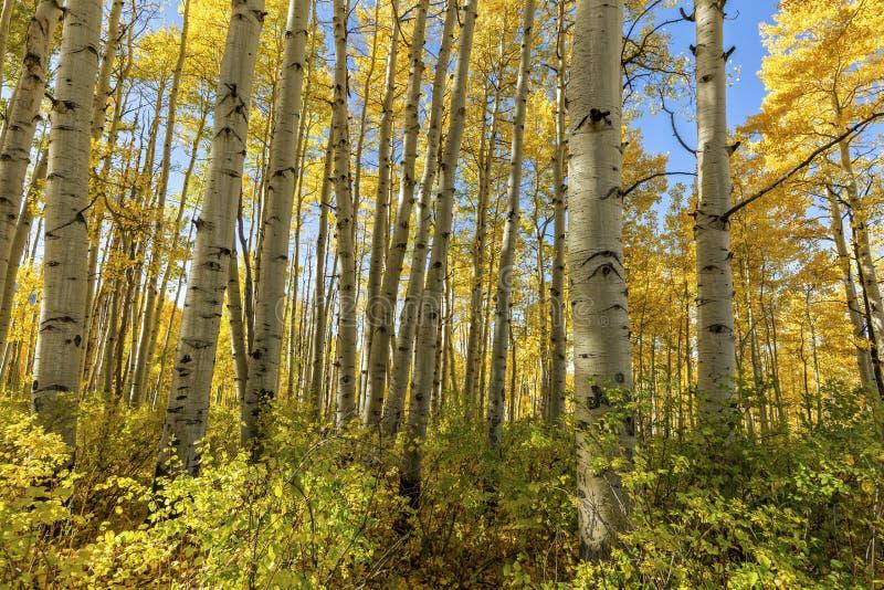 McClure Pass Aspen Grove in Peak Autun Color obraz stock