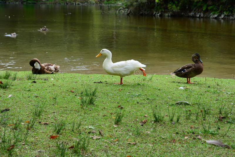 McLaren падает парк, Новая Зеландия Идилличный ландшафт с яркой ой-зелен растительностью; достопримечательность Дикие утки, одно  стоковое фото rf