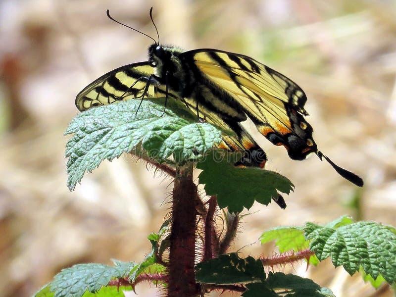 Mclean östlig Tiger Swallowtail fjäril 2016 arkivfoto