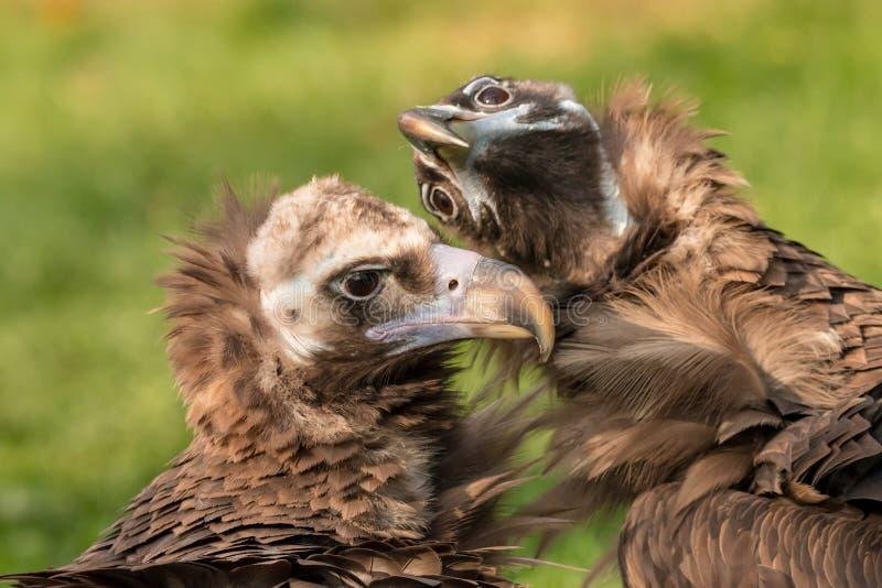 Me en mijn stomme broer Twee asgrauwe gieren: ernstig en grappig stock foto