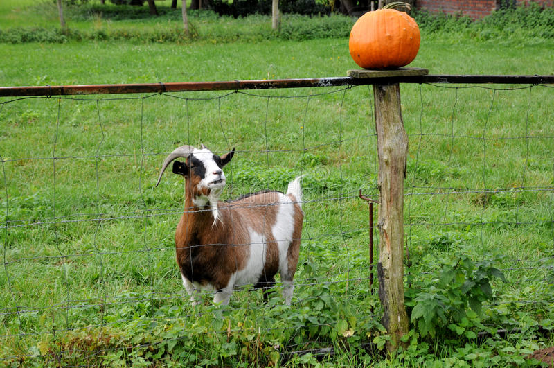 It is for me ?. Surprised goat hungry for pumpkin