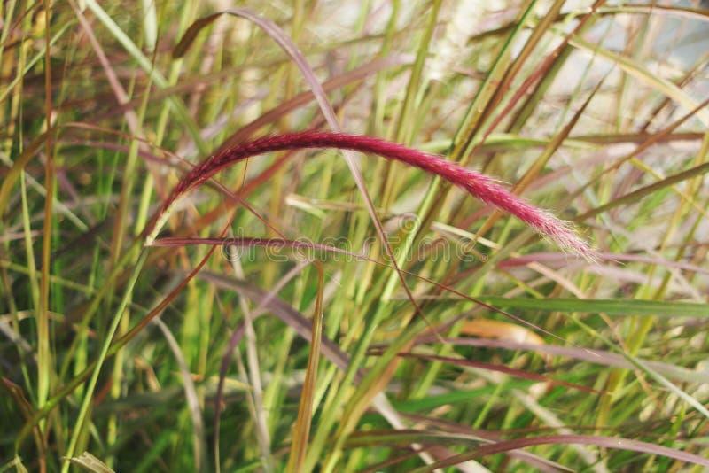 Meadaw-Büschel des rosa Grases im Garten lizenzfreie stockfotos