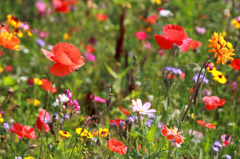 Download Meadow stock photo. Image of poppy, meadow, orange, flower - 15701528