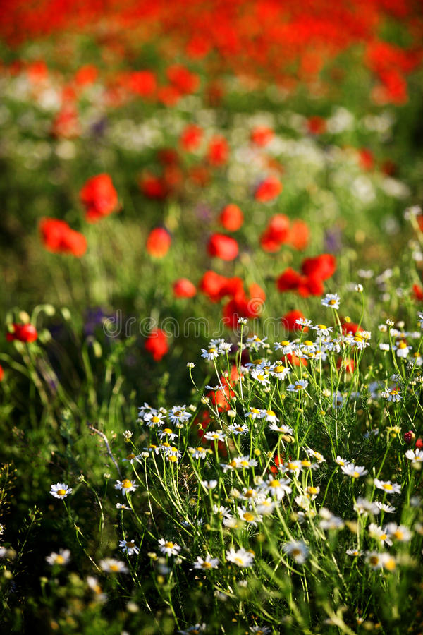 Free Meadow Royalty Free Stock Photography - 23793717
