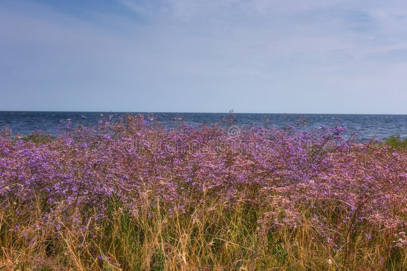 Meadow with beautiful purple flowers of limonium or sea lavender against a blue sea and sky background, flowering steppe landscape royalty free stock images