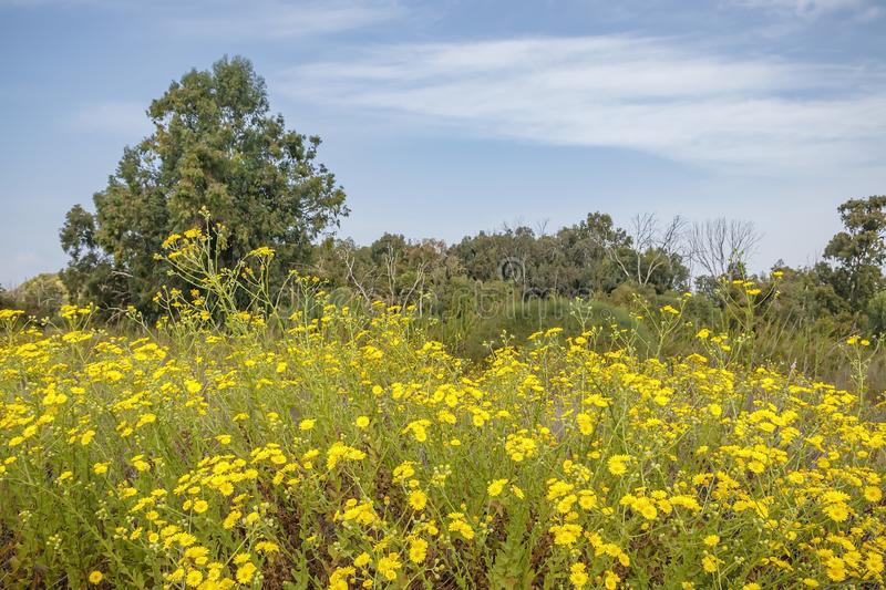 Meadow with blooming yellow flowers surrounded by trees. Against a blue sky with clouds royalty free stock photography